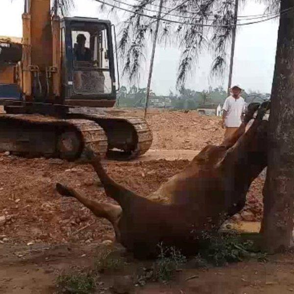 Thanh Hóa: Vào cuộc điều tra hai người đàn ông lạ mặt xuất hiện, 4 con bò của hộ dân bỗng lăn ra chết