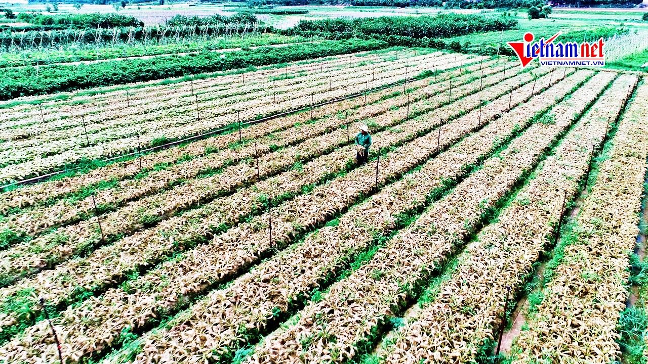 Cảnh sâu tơ tàn phá chưa từng thấy trên ruộng đồng Hà Nội