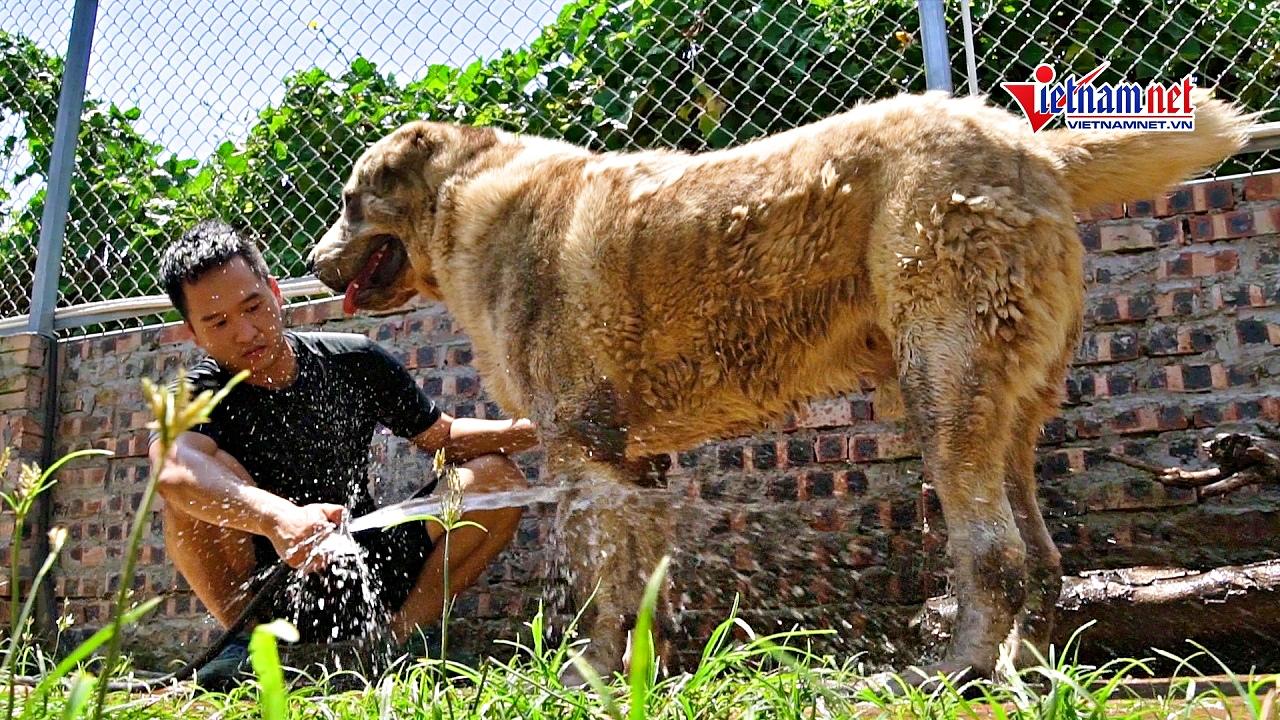 Đủ cách giải nhiệt chó cưng nặng 100kg, giá trăm triệu đồng/con