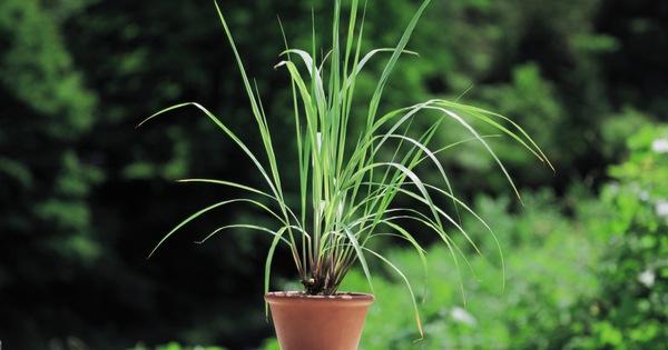 Hướng dẫn cách trồng sả bằng cây rất đơn giản, vừa đuổi muỗi hiệu quả vừa giúp không gian sống thêm trong lành