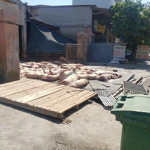 Ghê rợn cảnh hàng chục con lợn chết nằm la liệt trước cổng vào lò mổ