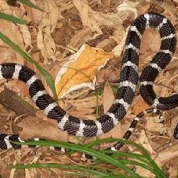 Đi cắt cỏ, người phụ nữ bị rắn độc cắn tử vong