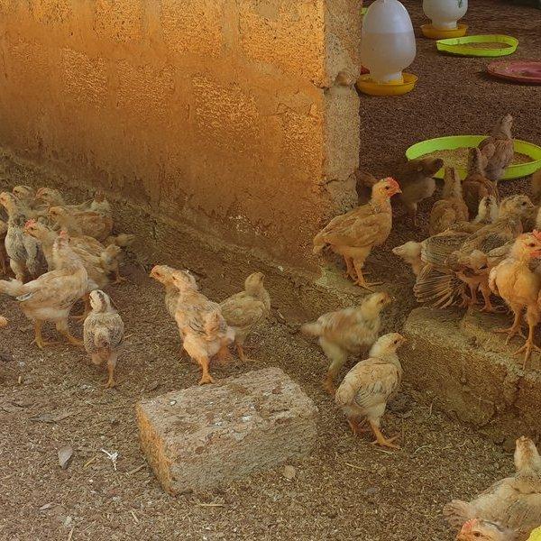 Để 1.000 con gà giống dự án