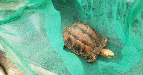 Người dân mua lại rùa hộp trán vàng cực hiếm để bàn giao cơ quan chức năng