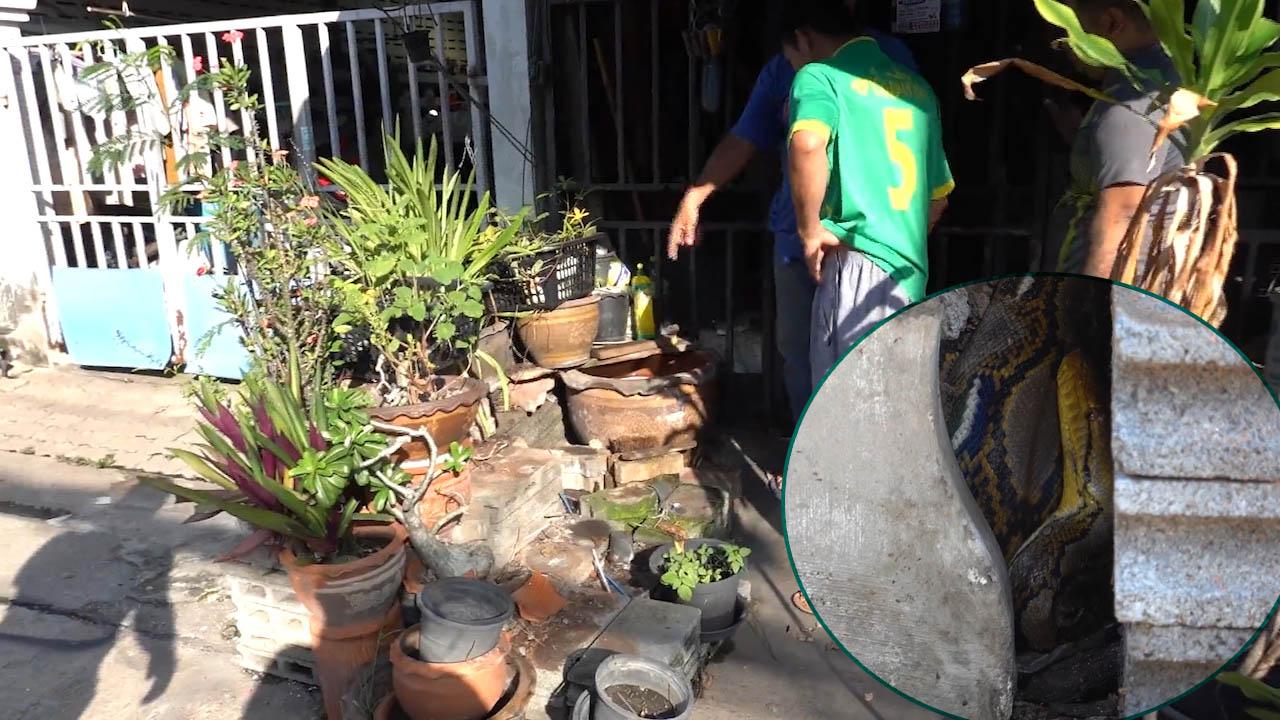 Giải cứu trăn dài gần 5m trốn trong chậu cây trước cửa nhà