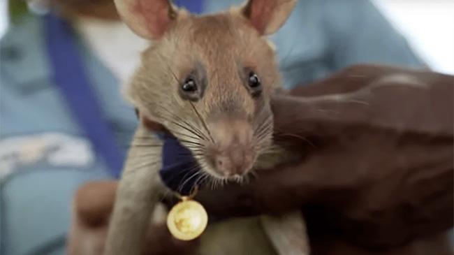 Chú chuột đầu tiên trên TG nhận huy chương vì thực hiện nhiệm vụ chết người