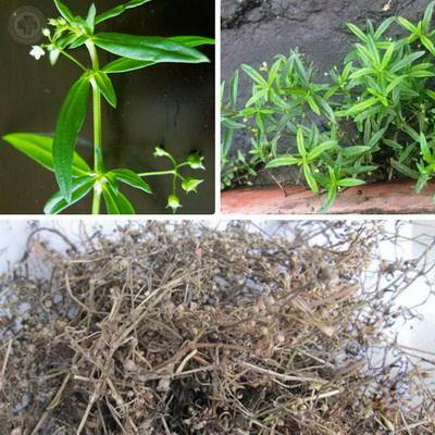 Bạch hoa xà thiệt thảo giải độc, tiêu viêm-1