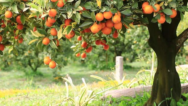 Lịch sử nước cam ép: Từ loại đồ uống chẳng ai thèm đến biểu tượng dinh dưỡng tại Mỹ, rồi lại bị người tiêu dùng quay lưng-2