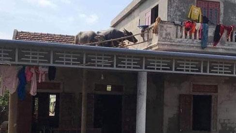 Lũ về khiến đàn trâu bất đắc dĩ phải bơi lên mái nhà, bây giờ lũ rút, chủ nhà