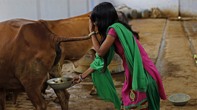 Thà dùng phân bò để sản xuất, dân Ấn Độ quyết tẩy chay hàng TQ