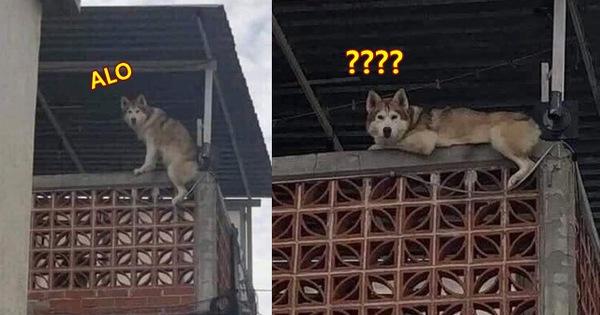 Chú Husky có thói