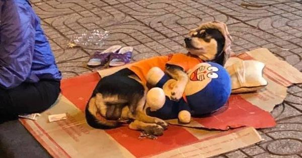 Chuyện đời tréo ngoe khi chú chó theo chủ đi mưu sinh nhưng lại nằm ôm gấu bông, trùm mũ ngủ rất