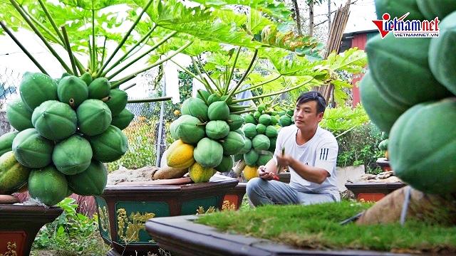 Đu đủ bonsai gây sốt tết 2021: Dáng siêu độc, quả chi chít khắp cành