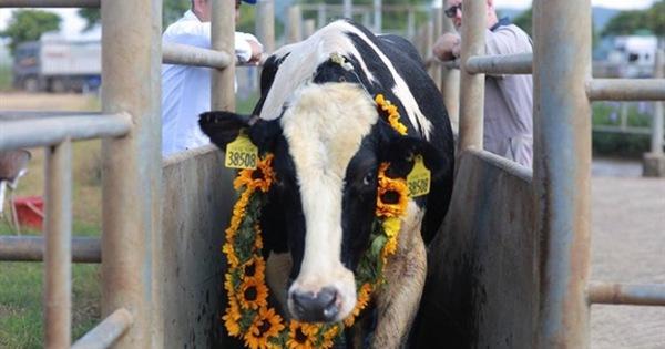 Vững đà tăng trưởng, TH true MILK đón đàn bò sữa nhập khẩu đầu tiên trong năm 2021
