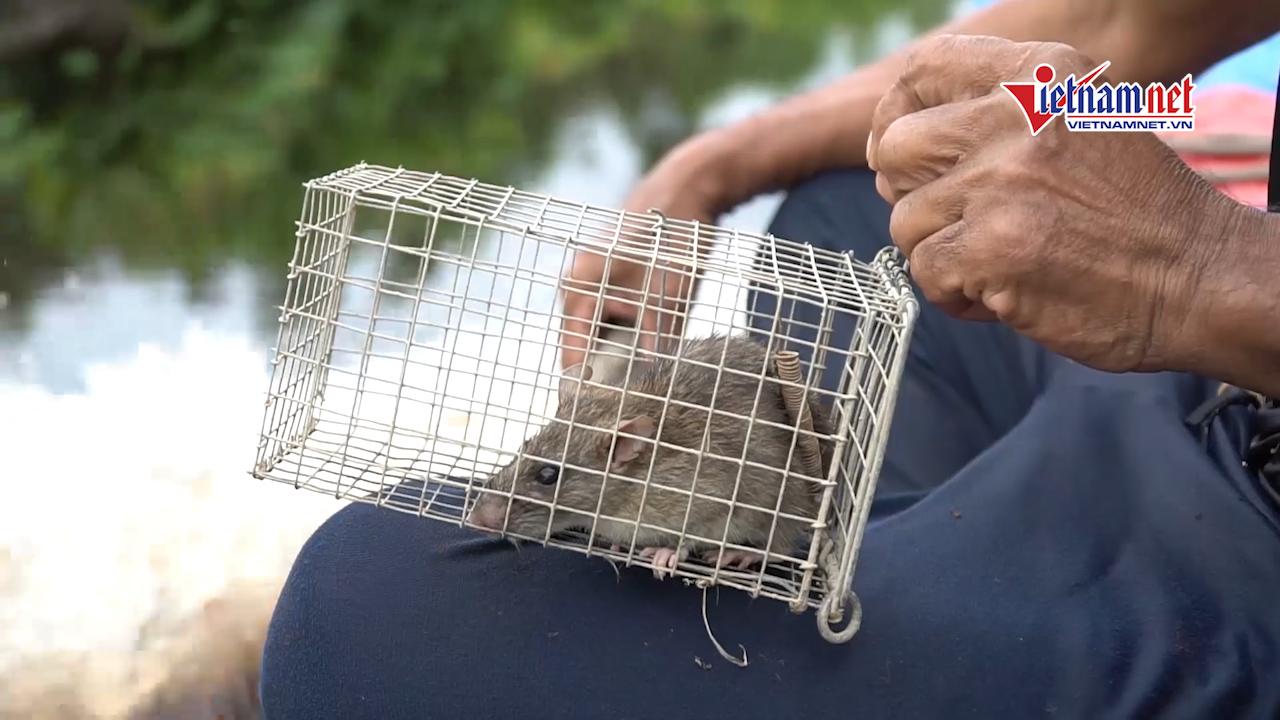 Về Cà Mau, theo chân người nông dân đi săn chuột rừng