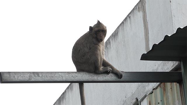 Đàn khỉ 'đột nhập' khu dân cư ở TP.HCM quậy phá, trộm thức ăn
