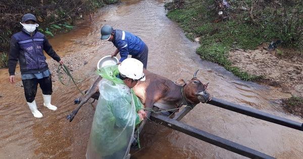 Gần 500 gia súc một huyện miền núi Thừa Thiên Huế chết vì rét