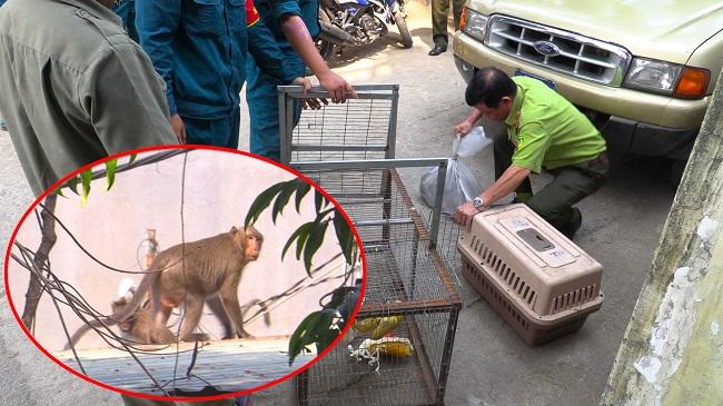 Kiểm lâm dùng súng gây mê, bẫy bắt đàn khỉ 20 con quậy phá nhà dân