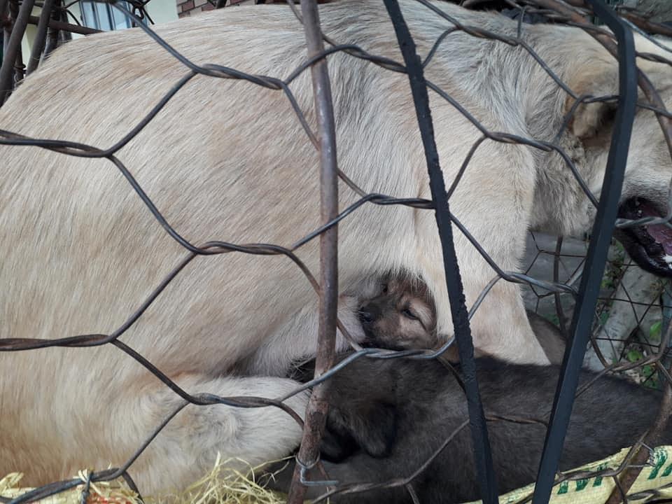 Hình ảnh khiến MXH Việt dậy sóng: Chó mẹ cho đàn con bú trước khi bị đưa vào lò mổ-4