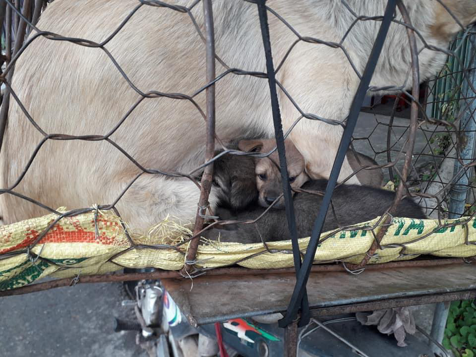 Hình ảnh khiến MXH Việt dậy sóng: Chó mẹ cho đàn con bú trước khi bị đưa vào lò mổ-3