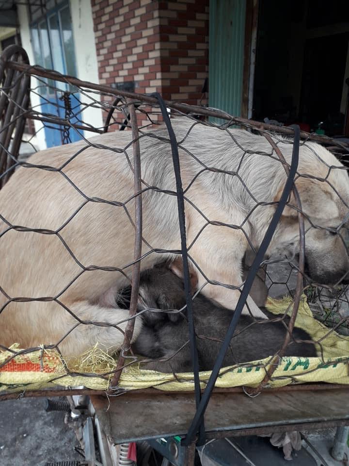 Hình ảnh khiến MXH Việt dậy sóng: Chó mẹ cho đàn con bú trước khi bị đưa vào lò mổ-5
