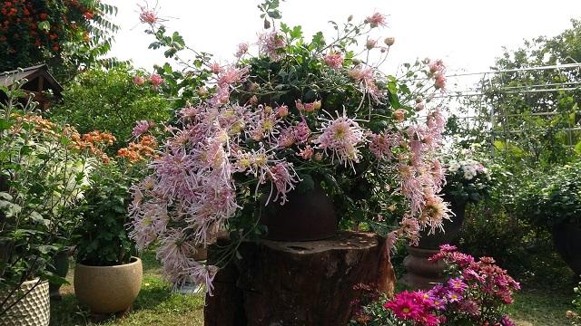 Lạc lối trong vườn cúc cổ, đẹp mê mẩn giữa Hà Thành