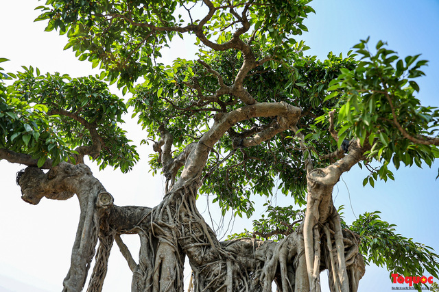 Cây sanh cổ dáng lạ được rao bán 700 triệu ở Hà Nội-4