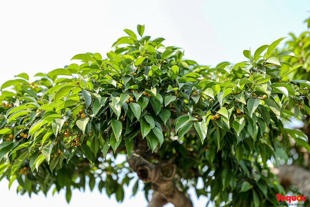 Cây sanh cổ dáng lạ được rao bán 700 triệu ở Hà Nội-6