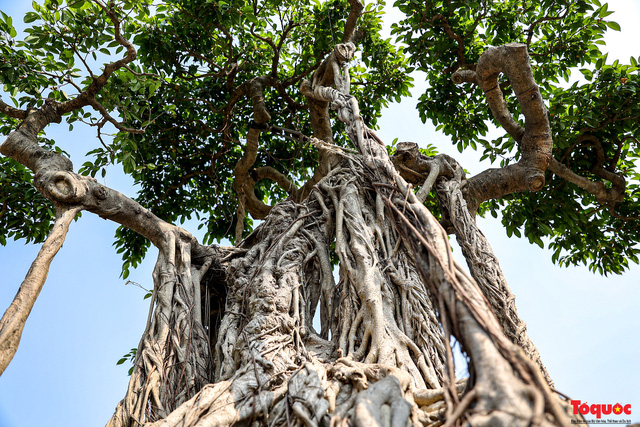 Cây sanh cổ dáng lạ được rao bán 700 triệu ở Hà Nội-9