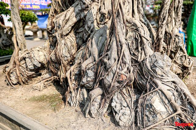 Cây sanh cổ dáng lạ được rao bán 700 triệu ở Hà Nội-5