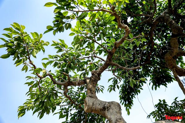 Cây sanh cổ dáng lạ được rao bán 700 triệu ở Hà Nội-10