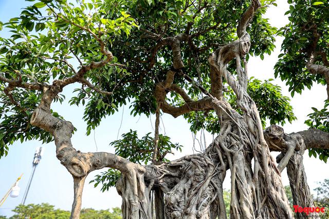 Cây sanh cổ dáng lạ được rao bán 700 triệu ở Hà Nội-8