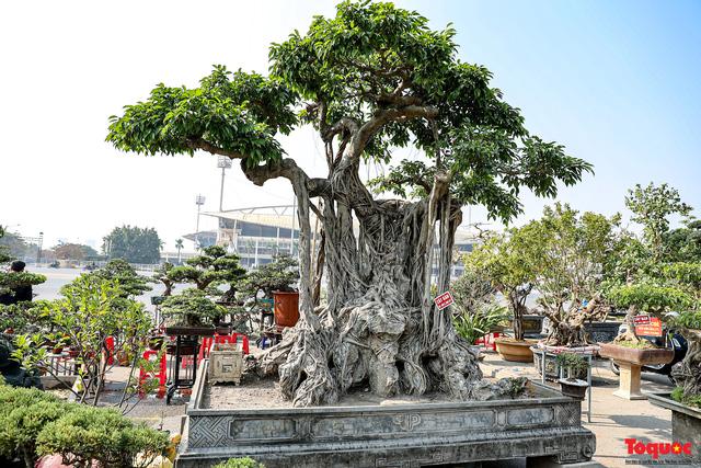 Cây sanh cổ dáng lạ được rao bán 700 triệu ở Hà Nội-2