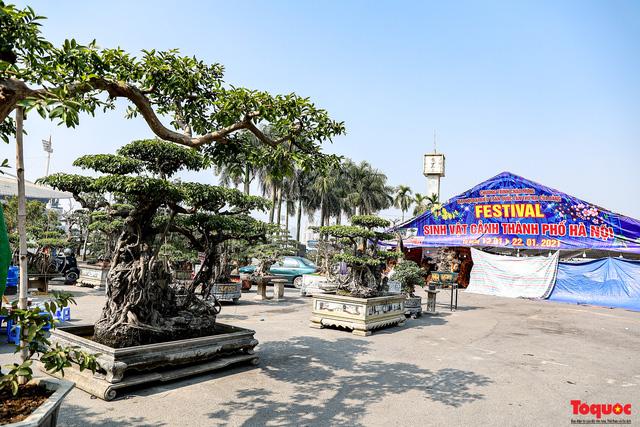 Cây sanh cổ dáng lạ được rao bán 700 triệu ở Hà Nội-1
