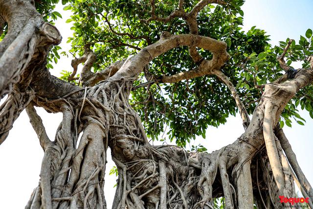Cây sanh cổ dáng lạ được rao bán 700 triệu ở Hà Nội-7