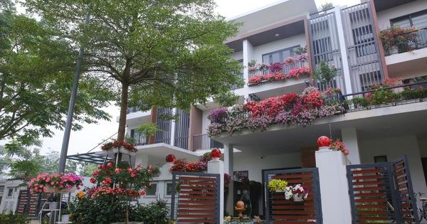 Kinh nghiệm trồng dạ yến thảo nở rực rỡ đủ sắc màu phủ kín mặt tiền nhà phố Hà Nội
