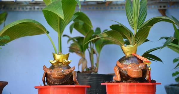 Độc đáo dừa bonsai hình con trâu khiến người Sài Gòn bỏ hàng triệu đồng mua chơi Tết Tân Sửu 2021