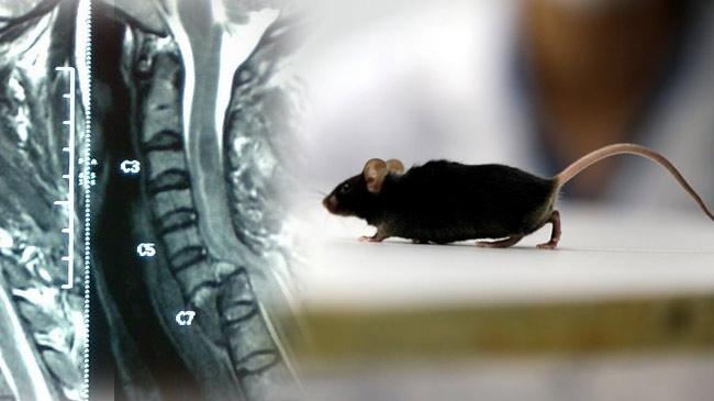 Chữa thành công chuột bị tổn thương tủy sống, đem hy vọng cho người bị liệt
