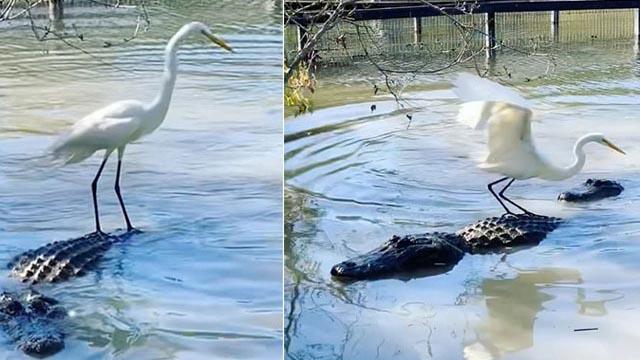 Diệc trắng 'cưỡi' cá sấu, thản nhiên săn mồi ngay trước miệng 'sát thủ khổng lồ'