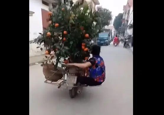 Clip: Người phụ nữ đu bám sau xe máy chở quất Tết để giữ cân bằng khiến cư dân mạng vừa trầm trồ vừa sợ hãi!-1