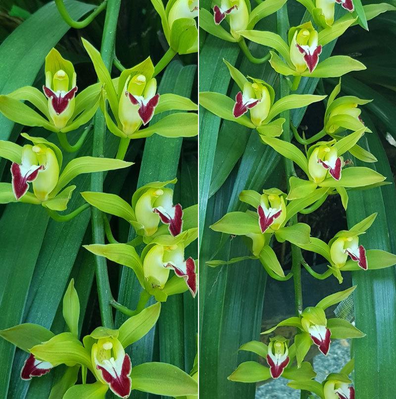 Hiếm có mùa Tết: Lan Trần Mộng siêu rẻ, 20 nghìn/cành hoa dài cả mét-2