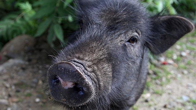Vì sao lợn Tây Tạng bổ như nhân sâm?