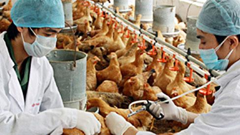 WHO khuyến cáo Việt Nam cảnh giác virus H5N8 lây từ gia cầm sang người
