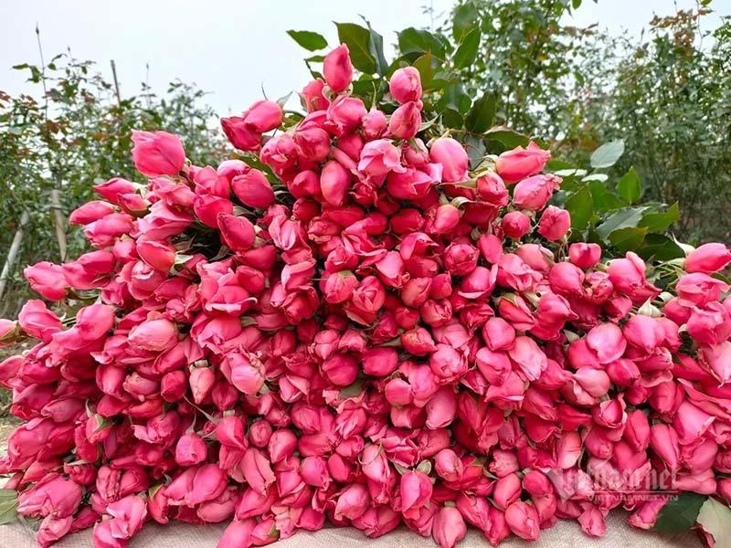 Hoa hồng tăng giá gấp 5, dân buôn tranh mua nhà vườn cháy hàng-2