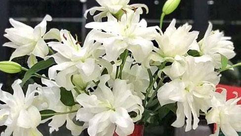 Loại hoa ly siêu đắt đỏ, chị em Hà thành ráo riết lùng mua