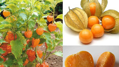 Một loại quả mọc dại đầy đồng quê Việt Nam bỗng gây sốt, giá bán tới 400k/kg