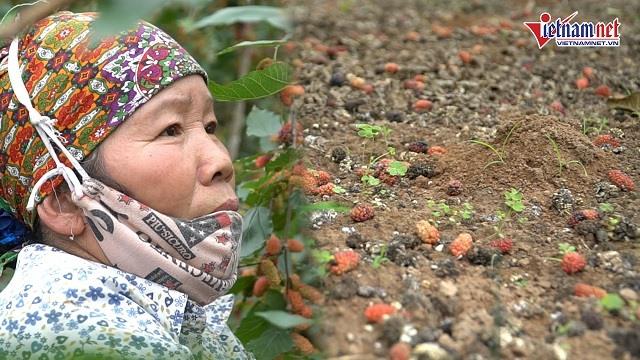 Trái rụng đầy gốc ở cánh đồng dâu tằm lớn nhất HN, nhiều người 'mất trắng'