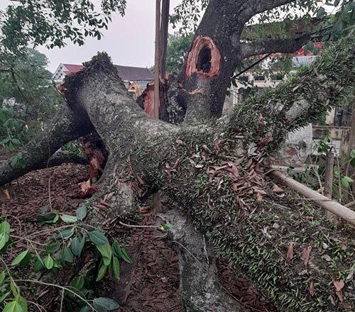 Cây đa hơn 300 tuổi bất ngờ gãy đổ đè 4 học sinh tiểu học bị thương-2