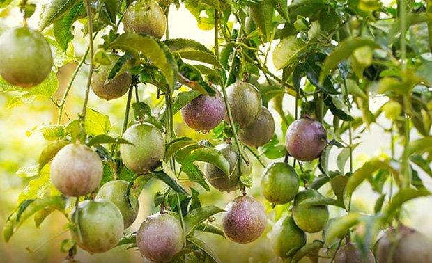 3 loại quả ở Việt Nam mọc dại đầy đường, sang nước ngoài thành của ngon vật lạ bán 1 triệu/kg-4