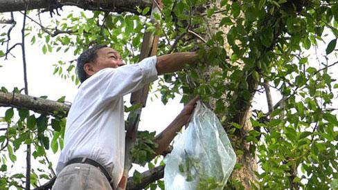 Choáng với loại tầm gửi quấn quanh thân cây được